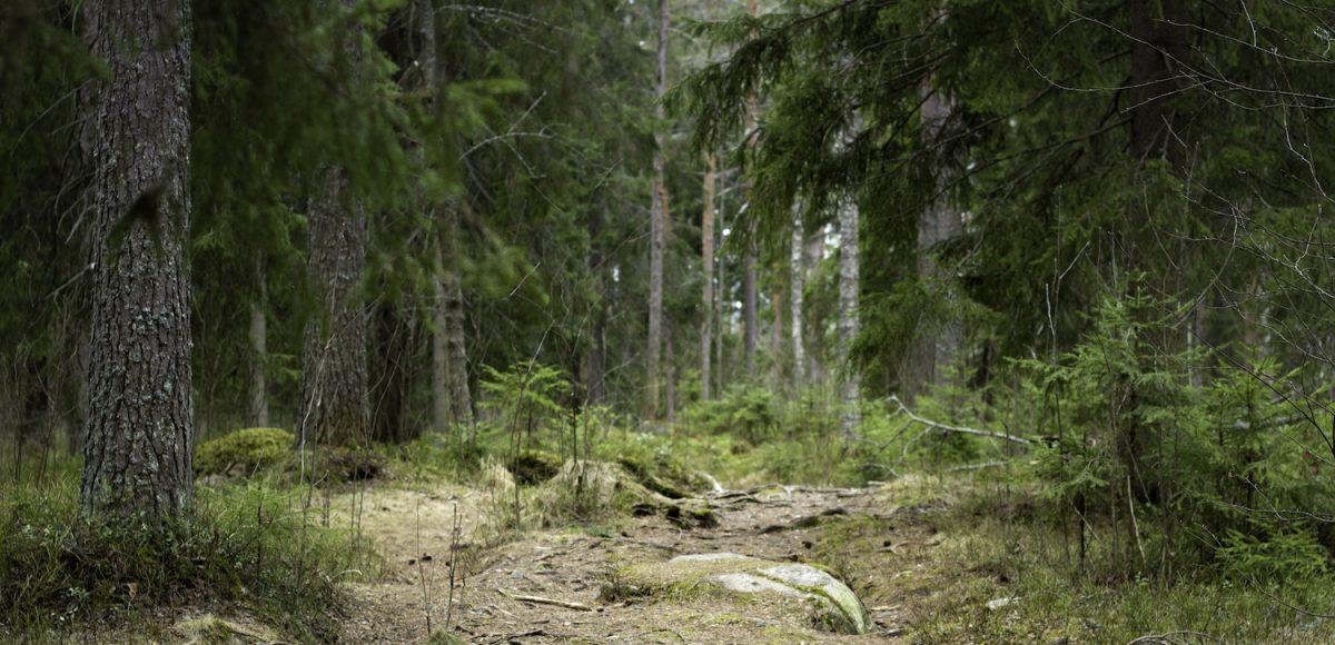 metsämaisema, polku ja kuusipuita